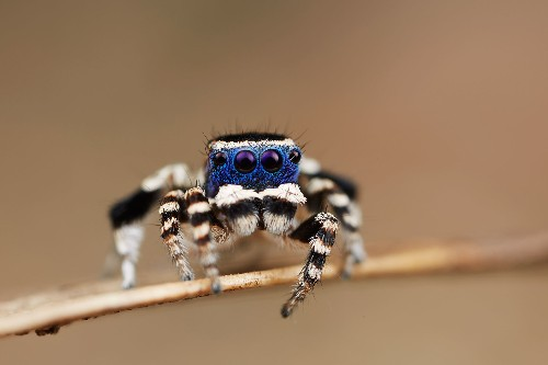 """New """"Blue Face"""" Peacock Spider Is Fancy Dancer"""