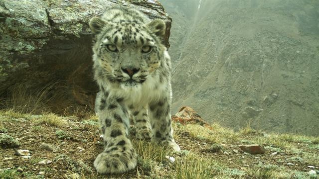 Stunning Rare Footage Reveals Elusive Snow Leopards