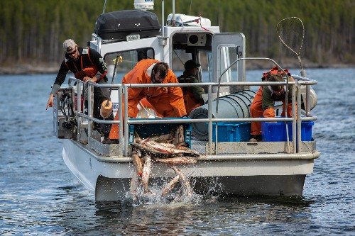 Want to kill invasive trout? Smother them with their dead.