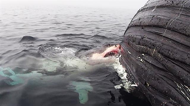 Watch: Great White Shark Feasts on Dead Whale