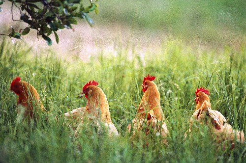 Animal Welfare Rule Exposes Cracks in Organic Egg Industry