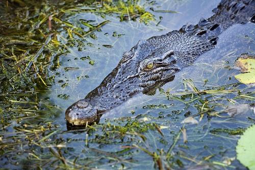 "Explaining ""Saltie"" Saltwater Crocodiles That Attacked Boys in Australia"