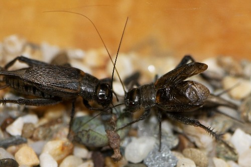Crickets Act Differently When Others Are Watching