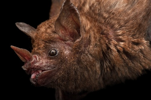 Bats are being killed so people can suck their blood