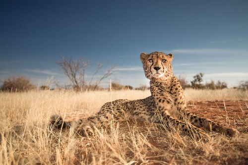 Cheetah's Inner Ear Is Key For High-Speed Chases