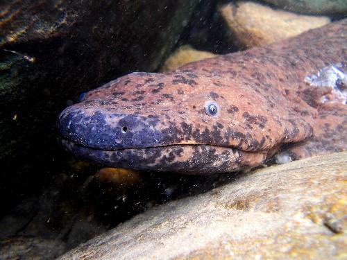 4-Foot Salamander Arrives in London as Face of New Conservation Effort