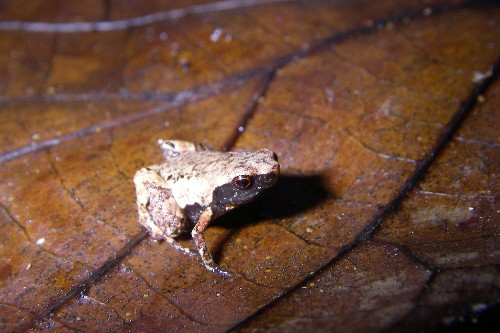 New staple-size frog is one of the tiniest ever discovered