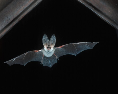 Good News for Bats? Species Bouncing Back in Europe