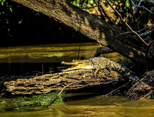 New crocodile species found hiding in plain sight