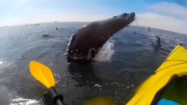 What to Do When a Wild Seal Hops On Your Kayak