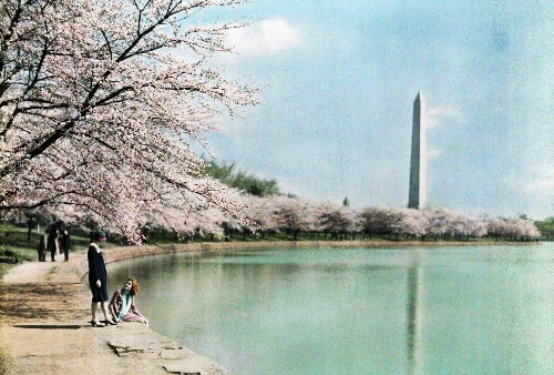 The Innovator Who Introduced Cherry Blossoms to the U.S.A.