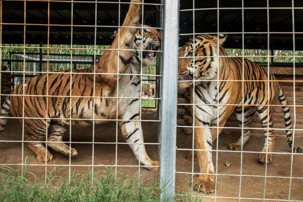 'Tiger King' zoo owner loses license, plots new animal venture