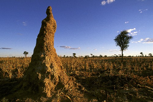 Collective Mind in the Mound: How Do Termites Build Their Huge Structures?