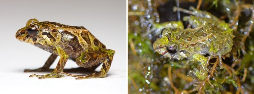 Shape-Shifting Frog Found, Goes From Spiky to Smooth in Minutes