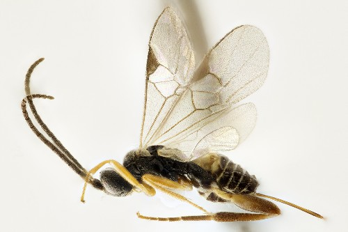 Nearly 200 New Species of Parasitic Wasps Discovered in Costa Rica