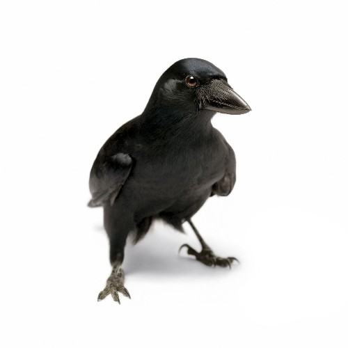 Like chess players, these crows can plan several steps ahead