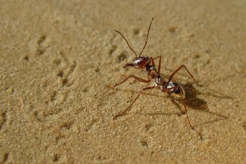 World's fastest ants found racing across the Sahara