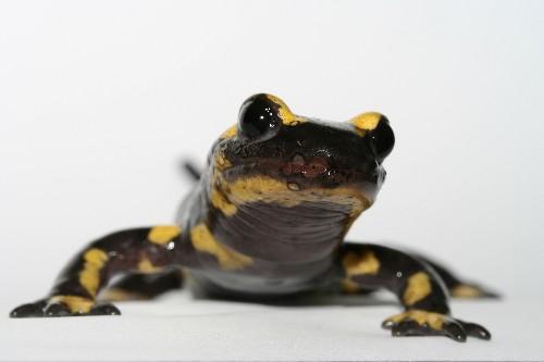 Killer Fungus Threatens Salamanders