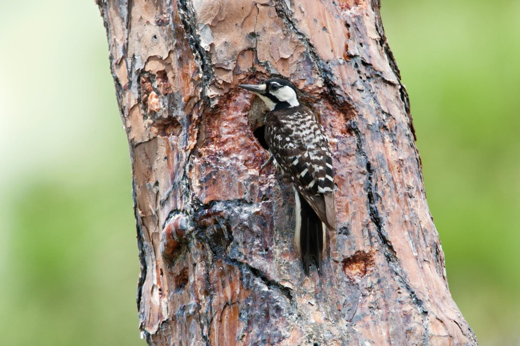 How wildfires have helped these woodpeckers make a comeback
