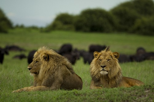 How to Save Africa's Lions