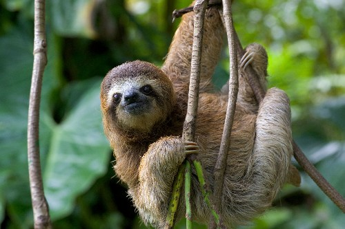 Sloths Act Like Birds and Reptiles in This Bizarre Way