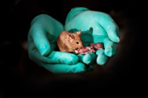 Same-sex mouse parents give birth via gene editing