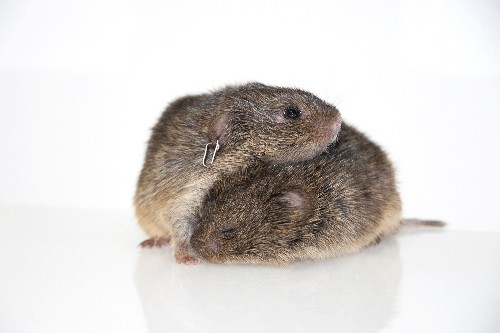 A Study of Unfaithful Voles Links Genes to Brains to Behaviour