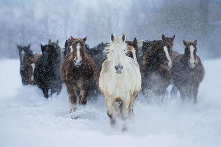 running horses in winter Photo by Satoru Kobayashi — National Geographic Your Shot