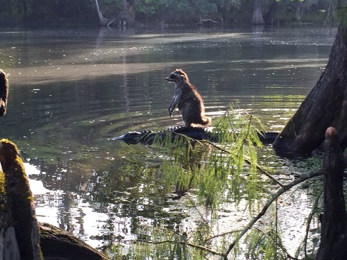 Raccoon Rides Alligator in Florida—Is It For Real?