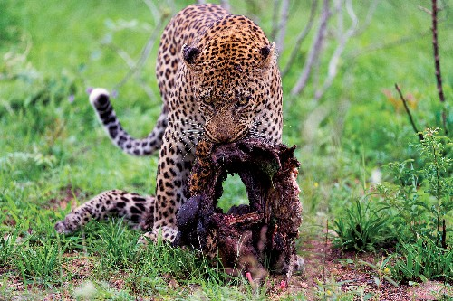 Dramatic Images Show Cannibal Leopard and Prey