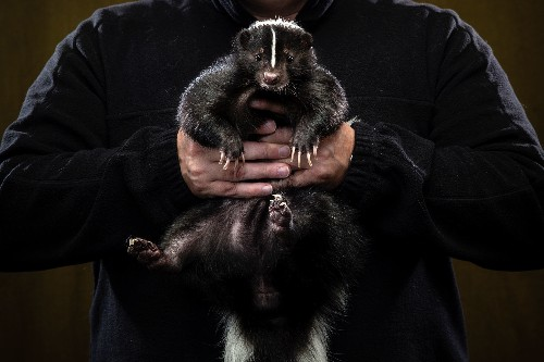 Skunk Lovers Unite: A Look at Pets and Their People