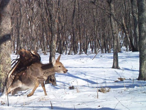 Rare Pictures: Golden Eagle Savages Russian Deer