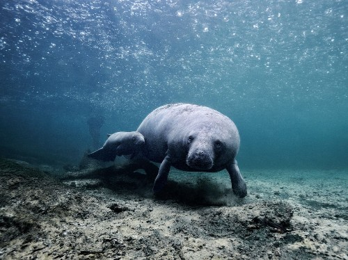 Baby manatee in the rain Photo by Szilárd Jankó — National Geographic Your Shot