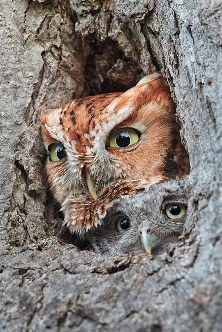 Eastern Screech Owl and Owlet Photo by Lesley Mattuchio — National Geographic Your Shot