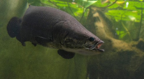 New Giant, Air-Breathing Fish Discovered