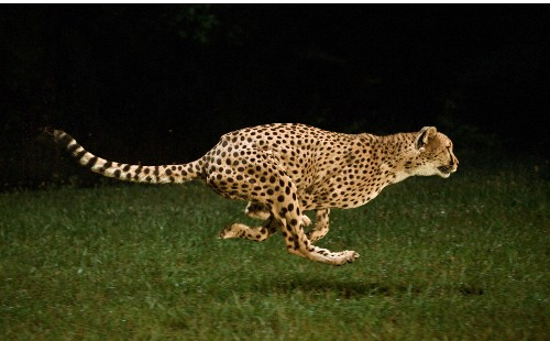A Cheetah Can Get You Without Hitting Top Speed
