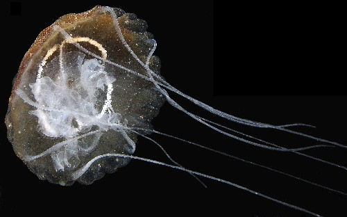 Beautiful, Golden Jellyfish Invading Fisher's Nets Is a New Species