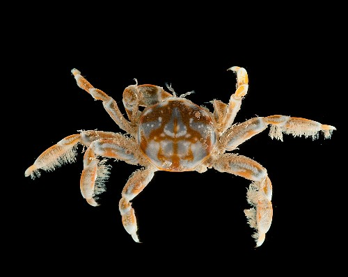 Watch: Crab Tickles Shellfish for Hours to Find Love