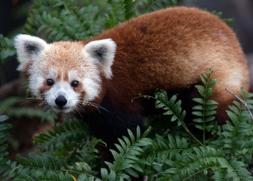 Lost and Found: Rusty, the Red Panda Returns to National Zoo
