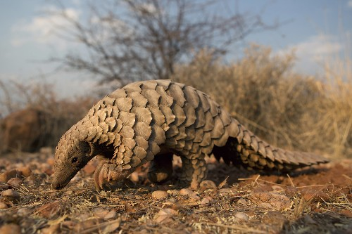 The World's Most Trafficked Mammal Just Got Desperately Needed Help