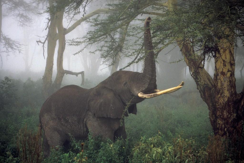 African Elephants Numbers Plummet 30 Percent, Survey Finds