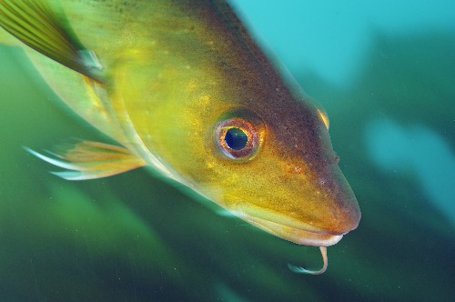 Warm Water May Spell the End of New England's Iconic Cod
