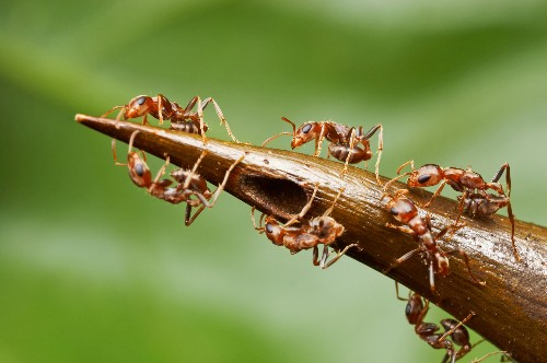 Trees Trap Ants Into Sweet Servitude