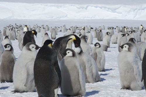Explorer Returns to Emperor Penguin Colony in Search of a True Count
