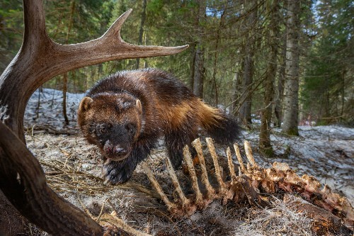 As wolverines battle to survive, warming poses a new threat