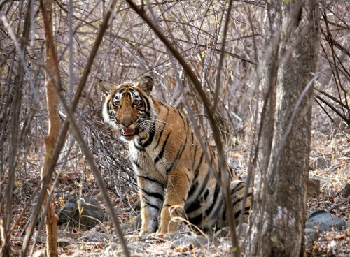 No Kingdom without the King,Save Tigers, Photo by Anil Dutt Vyas — National Geographic Your Shot