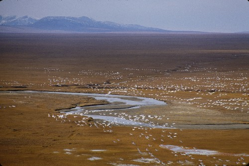 Arctic Refuge Has Lots of Wildlife—Oil, Maybe Not So Much