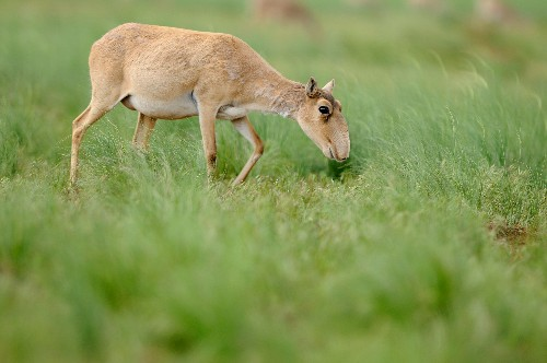 200,000 Endangered Antelope Died. Now We Know Why.
