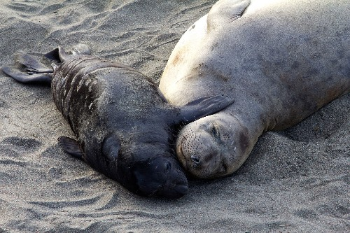 Tiny number of elephant seal 'supermoms' produce most pups