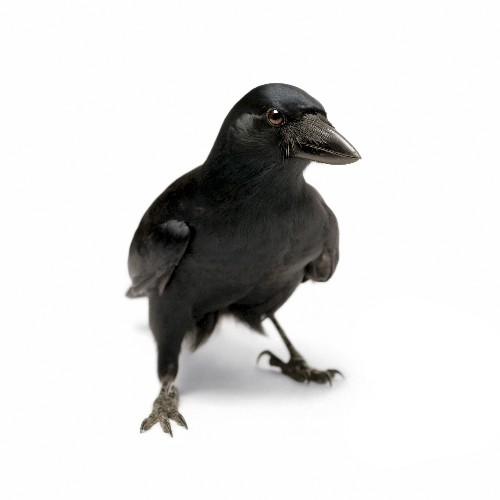 """Researcher Explains How Crows Solved a Challenge From """"Aesop's Fables."""""""